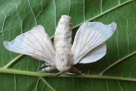 Bombi.morix(mariposa)